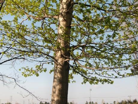 学名 Populus maximowiczii A. Henry
