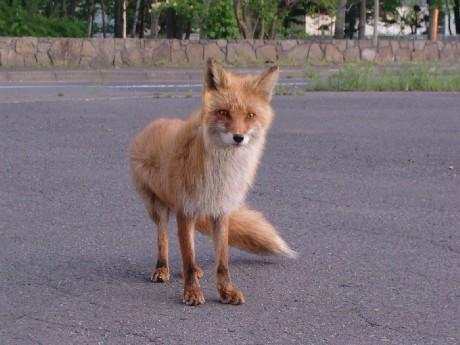 本州・四国・九州に生息するホンドギツネよりも全体的にやや大きく、耳の裏と四肢の足首の部分が黒い。