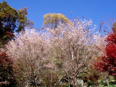 冬桜@城峯公園