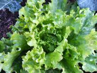 11-6野菜1