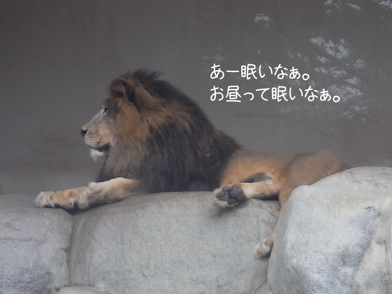 ライオン眠い