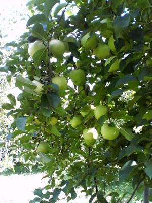 りんご園2009_0920_03.jpg
