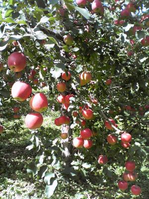 りんご園2009_0920_02.jpg