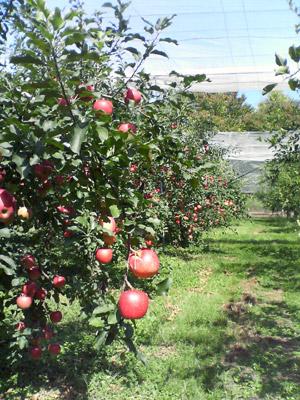 りんご園2009_0920_01.jpg
