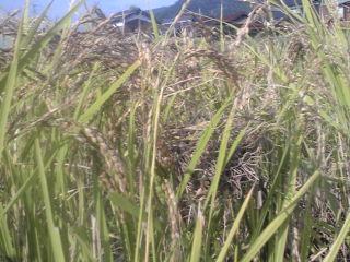 赤米の田んぼにカヤネズミの巣