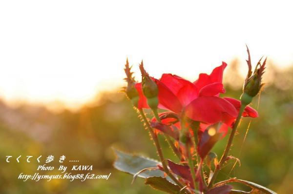 3バラ公園_9981