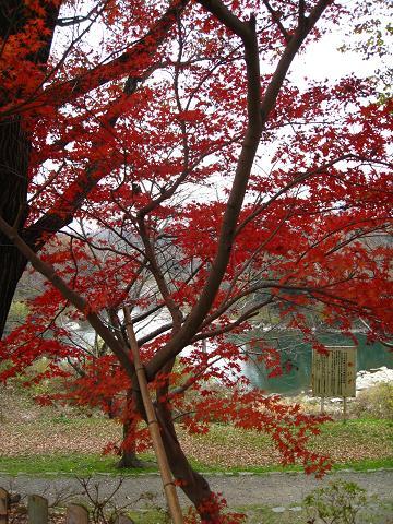 矢作川と紅葉12.10