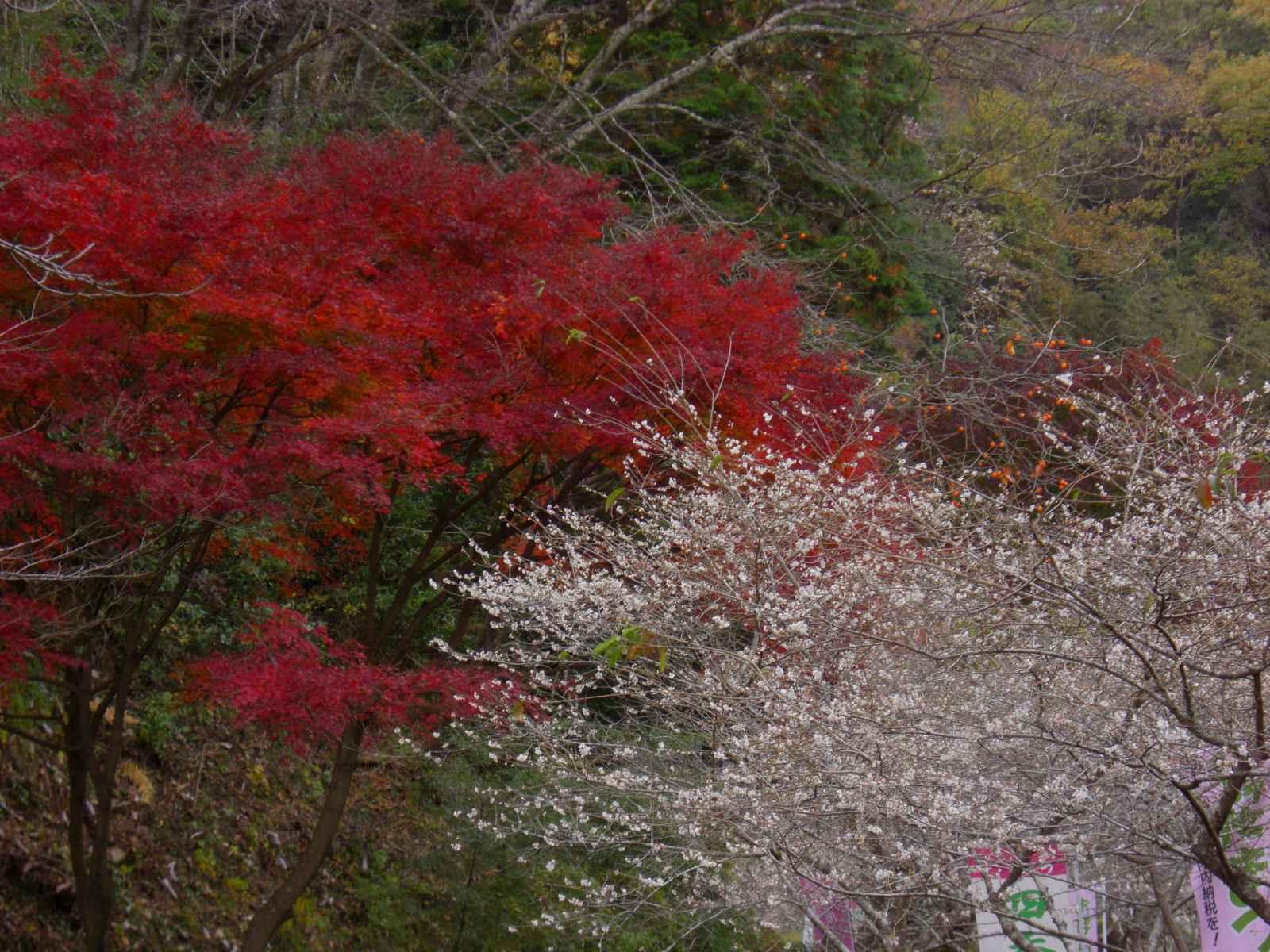 四季桜を見学5