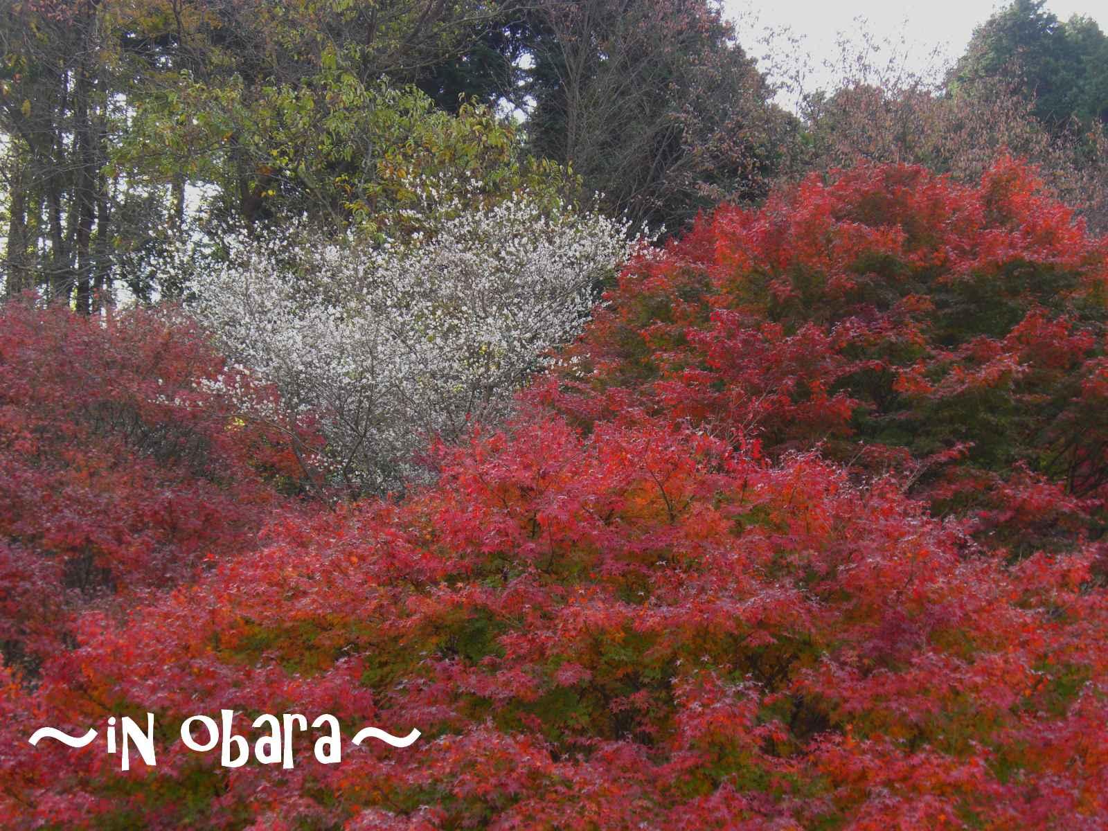 四季桜を見学1