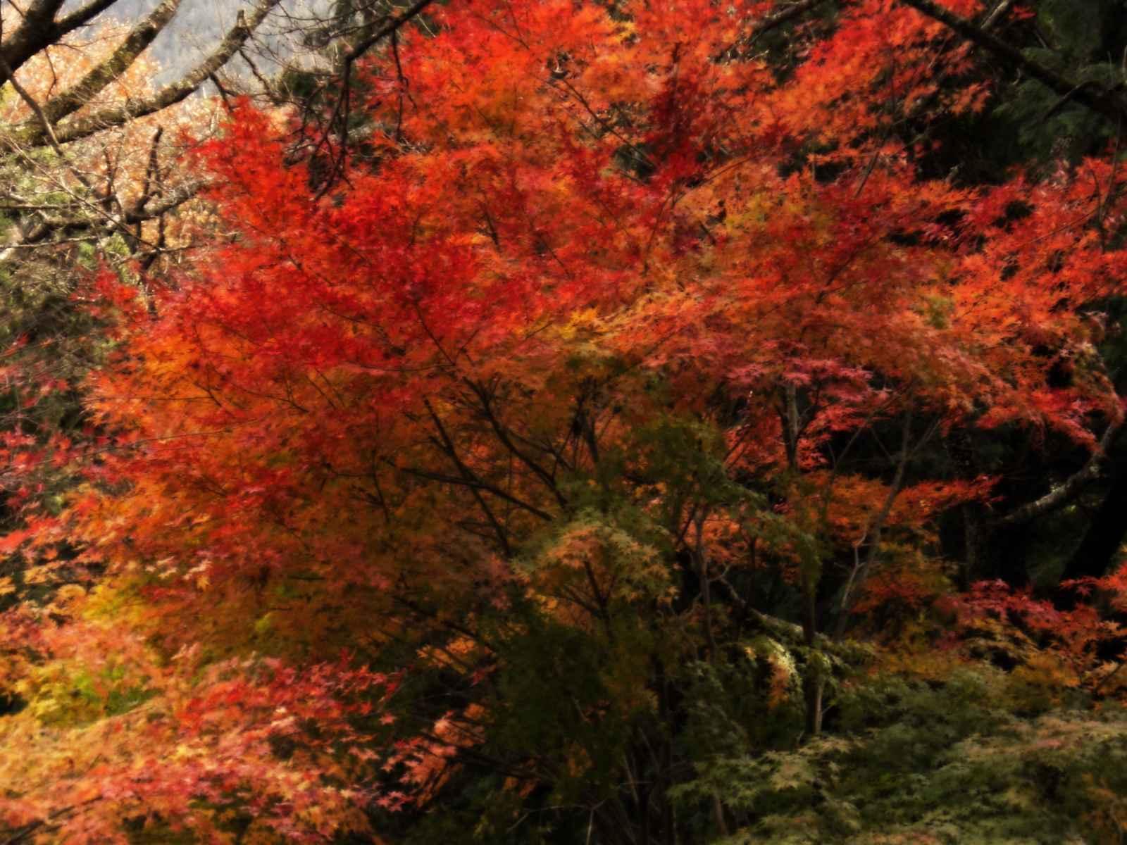 四季桜を見学7 画像加工