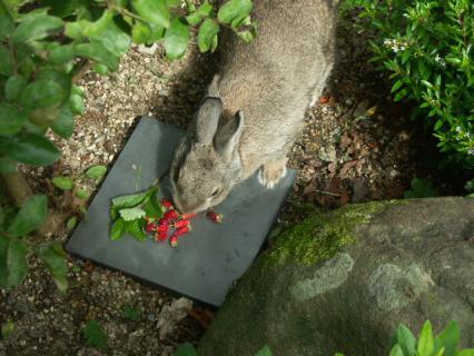 ワイルドストロベリーとウサギ1