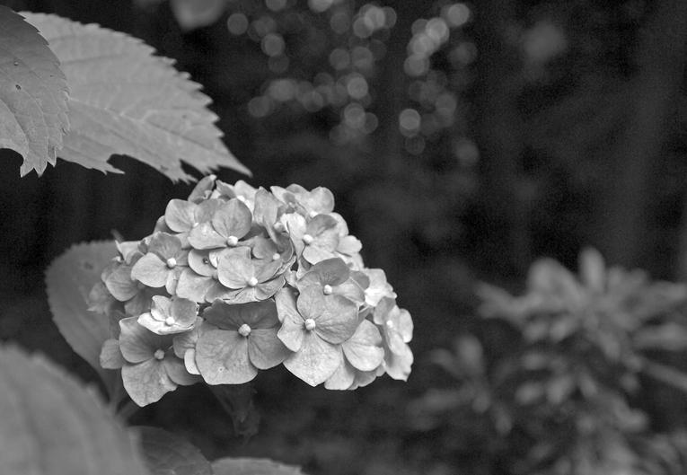 紫陽花モノクロ05
