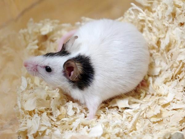 110528パンダマウス