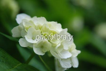 482518 白い紫陽花
