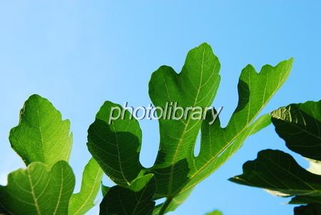 579524 イチジクの葉