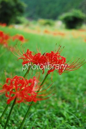 616064 彼岸花の咲く風景