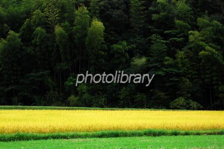 617003 金色の田んぼ