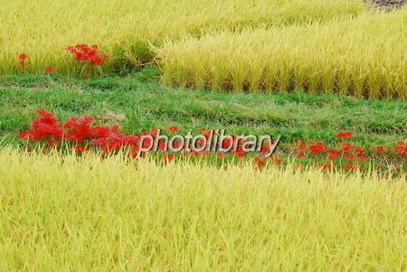 618213 彼岸花の咲く風