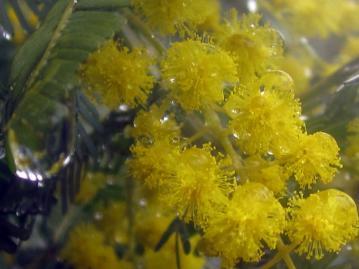 mimoza_0001.jpg