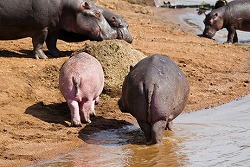 rare-pink-hippopotamus-pinkopotamus-group_26806_big.jpg