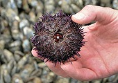 sea-urchin-teeth-self-sharpening_30695_170.jpg