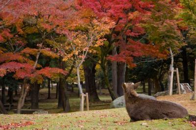 なら公園の紅葉と鹿