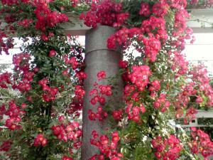 天王寺公園のバラ(その1:ヒアワサ)
