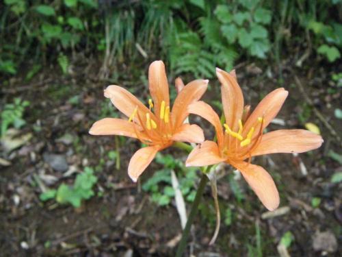 オレンジ色の夏の花