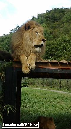 ライオン_3
