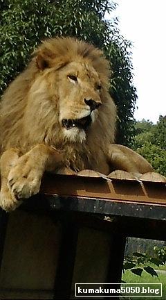 ライオン_4