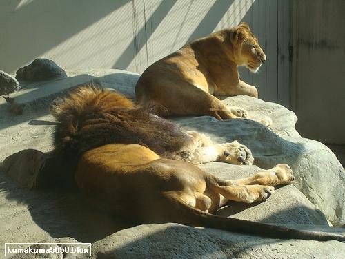 ライオン_104