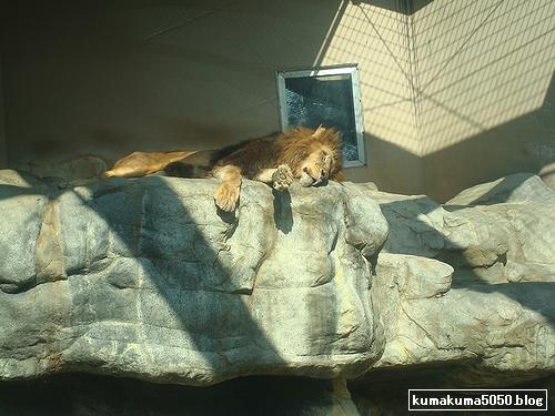 ライオン_110