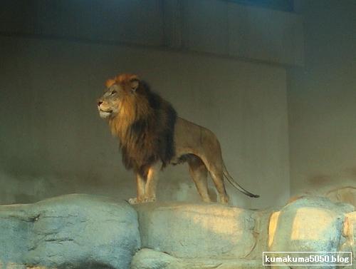 ライオン_136