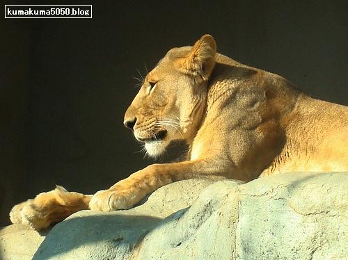 ライオン_146