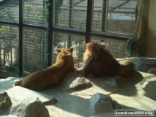 ライオン_151