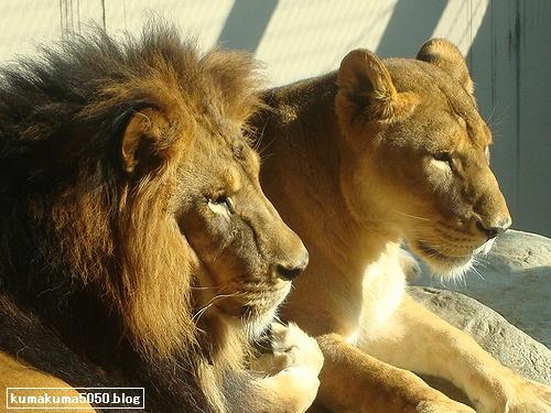 ライオン_148