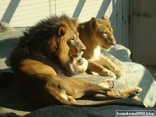 ライオン_147