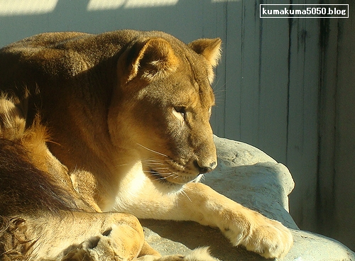 ライオン_156