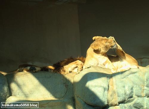 ライオン_155