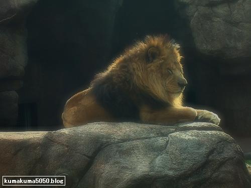 ライオン_191