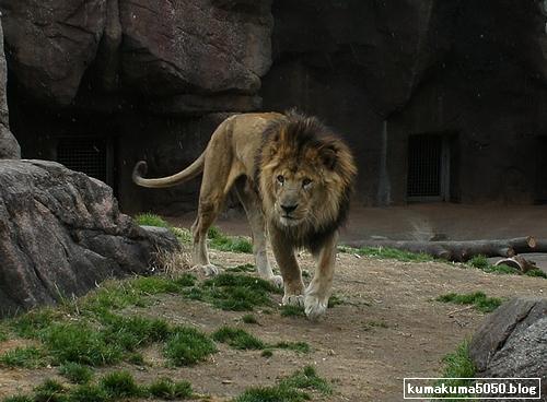 ライオン_194