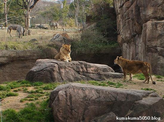 ライオン_162