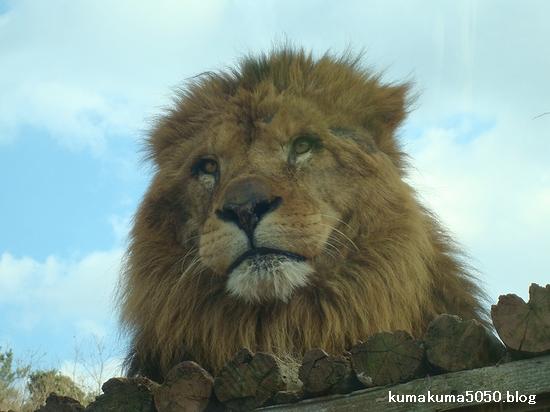 ライオン_67