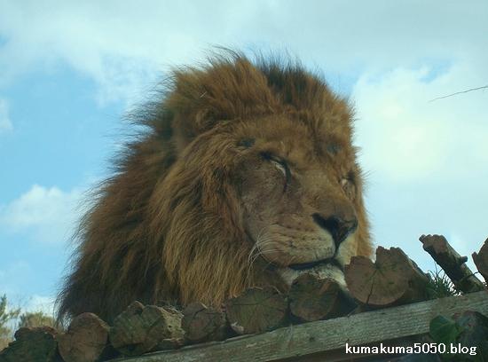 ライオン_65