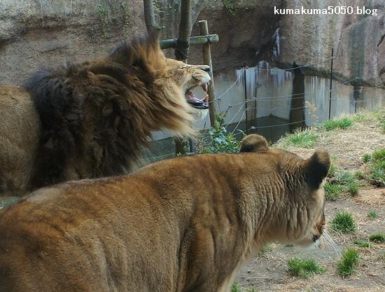 ライオン_195