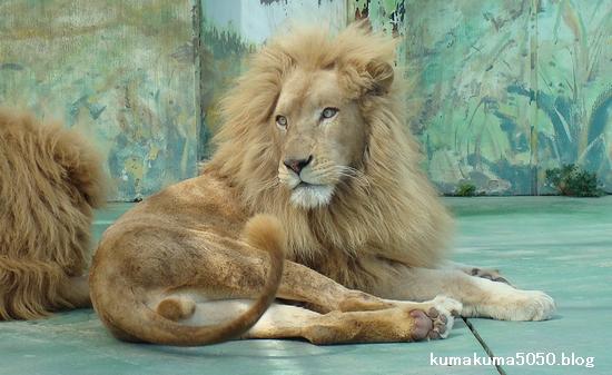 ホワイトライオン_6