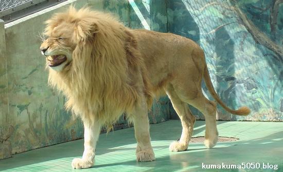 ホワイトライオン_7