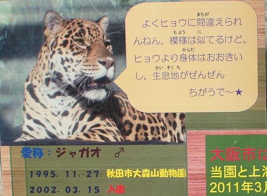 ジャガー_10