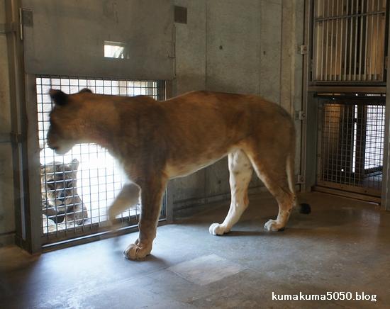 ライオン_246