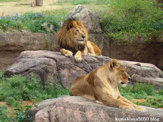 ライオン_255
